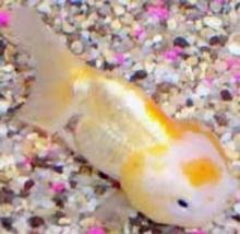 ปลาทอง... GOLDEN FISH
