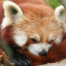 Red Panda I