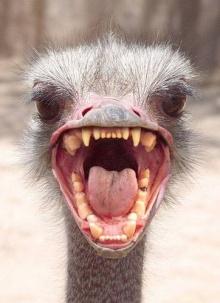 ♣ Emu ♣