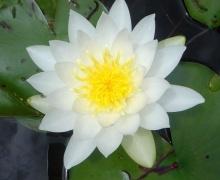ดอกบัว (Water Lily)