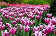 ดอกทิวลิปที่ Longwood Gardens Pennsylvania 1