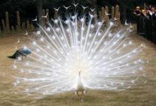 นกยูงเผือกรำแพน...สวยจัง