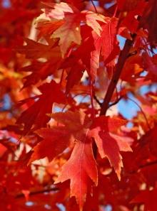 ต้นไม้แดงเพลิง