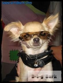 หมาน้อยอยากใส่แว่น