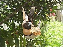 ภาพแมงมุมยักษ์กำลังกินนก ♣