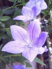 ดอกคิเเคียว(Ki Kyo)