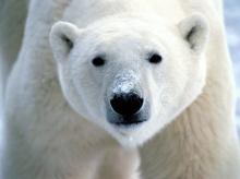 หมีขั้วโลก (Polar Bear) *ซ่อม*