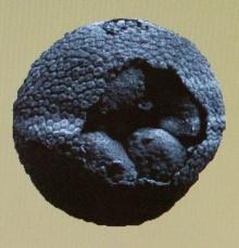 ฟอสซิลตัวอ่อนอายุ 600 ล้านปี!?