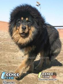 หมาหรือ..สิงโต