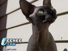 เคยเห็นแมวแบบนี้มะ ?