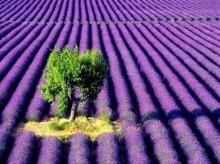 Lavender.. สีม่วง