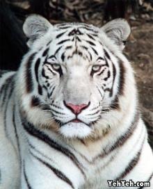 ***เสือขาว สัตว์หายาก***