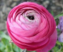 ดอกรานังคูลัส (Ranunculus)