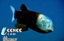 ปลาหัวใส ( barreleye fish )