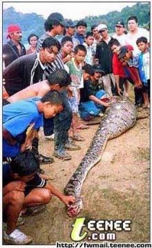 งูเขมือบคน