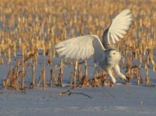 นกฮูกขาว หน้าอย่างทะเล้น
