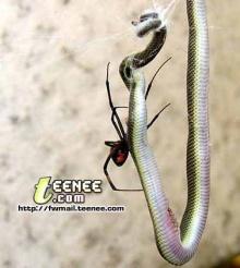 โอ้เหลือเชื่อ แมงมุมขม้ำงู
