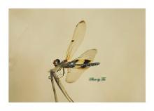 แมงปอ ปีกบาง สวย ๆ จ้า