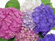 ดอก..Hydrangea...