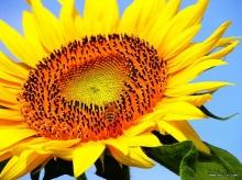 ทานตะวัน Sunflower