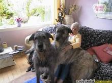 หมา ตัวใหญ่สุดๆ แบบนี้เคยเห็นมั้ย.?