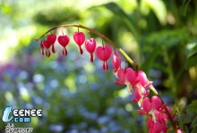 heart flower_ดอกหัวใจ