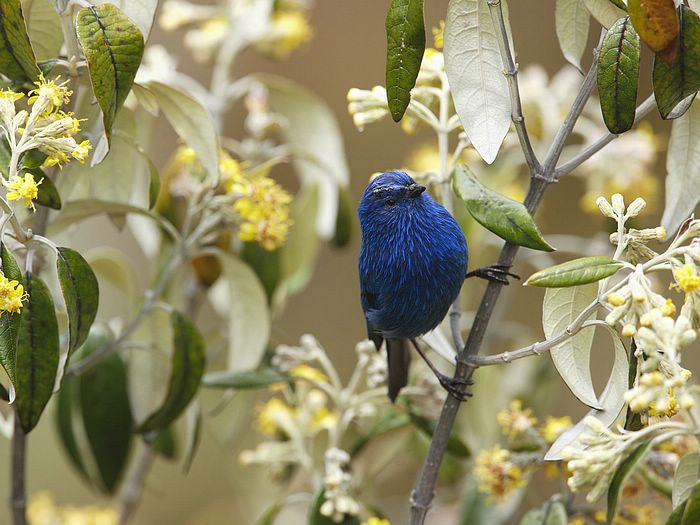 Blue-and-Black Tanager Andes Peru
