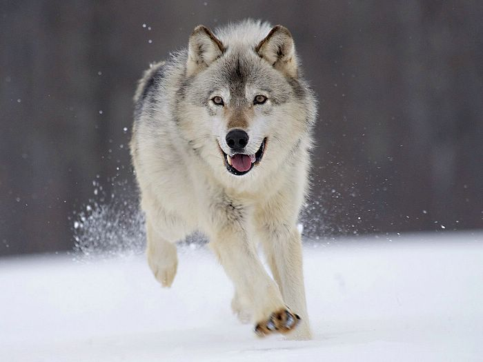 Gray Wolf Minnesota