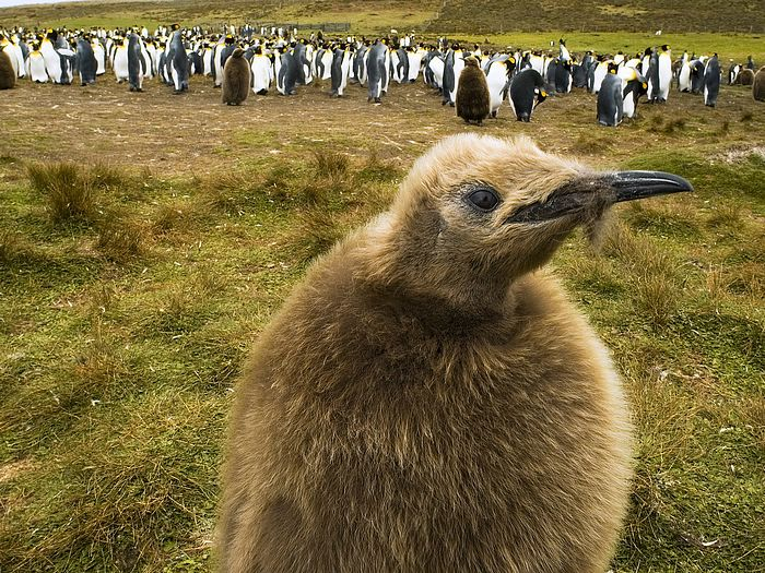 King Penguin Chick Falkland Islands