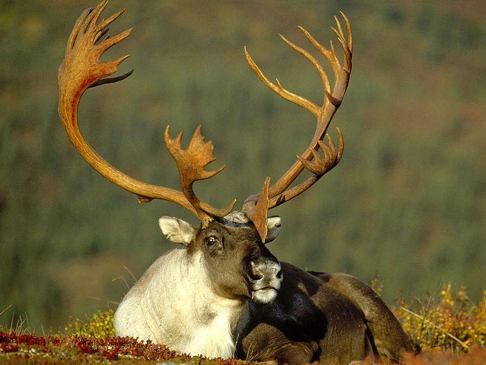Male Caribou Alaska
