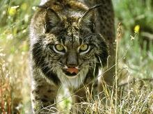 สัตว์ป่า 10 ชนิดที่ใกล้สูญพันธุ์