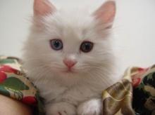 แมวตาเพชร..น่ารักจังเลย ^ JOY ^