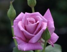 ราชินีดอกไม้ 2