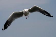 นกนางนวล บินถลา ลอยลิ่ว